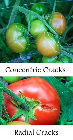 When tomato plants get too much water too fast. The interior grows quickly as it absorbs the extra water from rain or disproportionate...