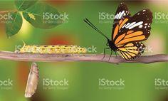 Ciclo de vida de mariposas-Vector illustracion libre de derechos libre de derechos