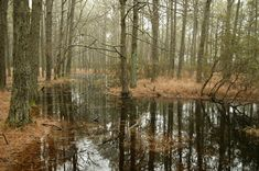 Forest, Swamp Forest Trees Pine Wetland Nature Wat #forest, #swamp, #forest, #trees, #pine, #wetland, #nature, #wat