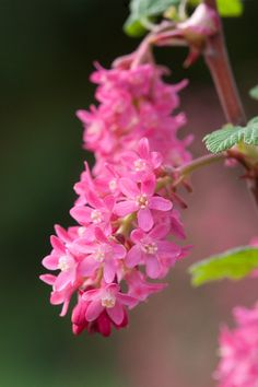Flowering currant (Ribes sanguineum 'Koja'), early April.