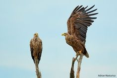 _NAP9709-0 Danube Delta, Boat Tours, Bird Watching, Bald Eagle
