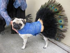 Two of my favourite things: peacock feathers and pugs