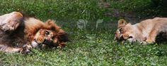 """Couple of Lion at """"Parc des félins"""" by Aurélien Chaumont - Photo 109235105 - 500px"""