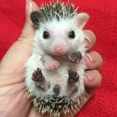 I have never seen anything cuter in my life. Look at his pink nose. Baby Animals Pictures, Funny Animal Pictures, Animals And Pets, Pygmy Hedgehog, Cute Hedgehog, Cute Little Animals, Cute Funny Animals, Young Animal, Exotic Pets