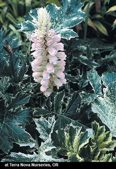 Acanthus mollis 'Tasmanian Angel' (Tasmanian Angel Bear's Breech)