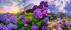 Cum sa provoci inflorirea hortensiilor pentru a crea un spectacol minunat colorat in gradina ta. GALERIE FOTO! Cabbage, Vegetables, Cabbages, Vegetable Recipes, Brussels Sprouts, Veggies, Sprouts