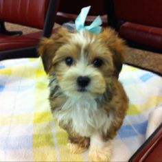 Morkie puppy from www.pawsntailspups.com