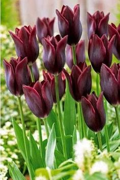 Tulipe longue tige 'Havran' Tulipa 'Havran': Sarah Raven 2006 crimson black tulip trials top 3, lovely shape w/ the pointy petals