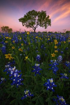 Named for its color and, it is said, the resemblance of its petal to a woman's sunbonnet, the bluebonnet is the state flower of Texas. It blooms in the early spring and can be readily found in fields and along the roadsides throughout central and south Texas. Bluebonnets serve as lovely harbingers of Spring.  Best when viewed on BLACK!