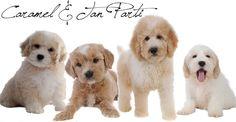 carmel goldendoodles English Teddy Bear Goldendoodles from Smeraglia…