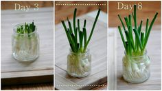 Grow Green Onions in your window year-round!