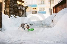 White and black french bulldog in a coat is playing with green plastic bottle in Russian village