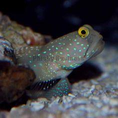 Blue Spot Shrimp Goby Marine Aquarium, Saltwater Aquarium, Colorful Fish, Tropical Fish, Underwater Creatures, Deep Blue Sea, Ocean Life, Sea Creatures, Mammals