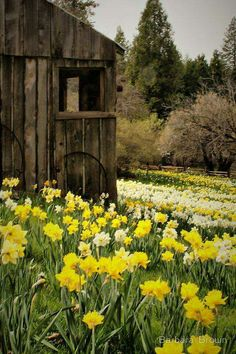 Country Spring - Old barn and daffodils-I love it! Spring coming up! Country Barns, Old Barns, Country Living, Country Roads, Country Scenes, All Nature, Spring Nature, Spring Garden, Mellow Yellow