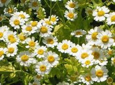 Feverfew is a shrub that has a daisy-like flower. The dried leaves as well as the flowers & stems are used to make supplements. Several studies have shown its effectiveness in reducing the number of migraines per month. It has been found to be even more effective when used with riboflavin.
