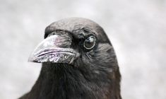 """""""Like humans, crows recognize faces and form associations with them—and to accomplish this, the two species' brains appear to work in similar ways. 'The regions of the crow brain that work together are not unlike those that work together in mammals, including humans,' says John Marzluff, University of Washington professor of environmental and forest sciences."""""""