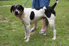 Meet Freddie, an adoptable Bluetick Coonhound looking for a forever home. If you're looking for a new pet to adopt or want information on how to get involved with adoptable pets, Petfinder.com is a great resource.