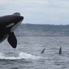 Whale Watching Friday Harbor, WA-love whale watching anywhere