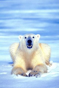 Polar bear. I would love to see one in the wild (from a safe distance, of course!)