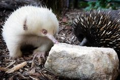 Male eastern long-beaked echidnas can be distinguished from females by the presence of a horny spur on the hindleg. This echidna and the western long-beaked echidna (Zaglossus bruijnii) were once considered to be the same species, but have recently been separated, largely based on the presence of five claws on the front foot of the eastern long-beaked echidna, whilst the western long-beaked echidna has less than five claws.