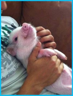 Baby piglet enjoying cuddle-time