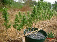Esto nos ha dejado boquiabiertos. #Autocultivo #Marihuana #Cannabis