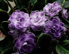 Ness Ruffled Skies African Violet
