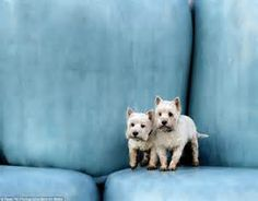 West Highland Terriers photographed by photographers - Bing Images