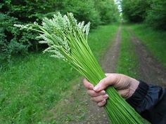 Surviving in the Wild: 19 Common Edible Plants | herbology, herbalism, healing plants, herbal medicine