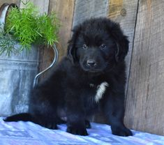 Lancaster Puppies pairs Newfoundland dog breeders with great people like you! Find your Newfoundland dog for sale here! Puppies For Sale, Cute Puppies, Puppies Puppies, Newfoundland Puppies, Lancaster Puppies, Adoptable Beagle, Labrador Retriever Dog, Bull Terrier Dog, Bernese Mountain