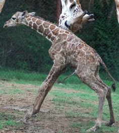 Just minutes old, a baby Giraffe stands for the first time at Dickerson Park Zoo