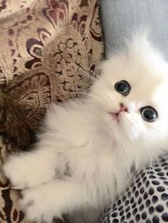 Persian Kittens Gallery - Teacup Kittens for Sale