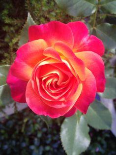 1000 images about roser i min hage on pinterest roses. Black Bedroom Furniture Sets. Home Design Ideas