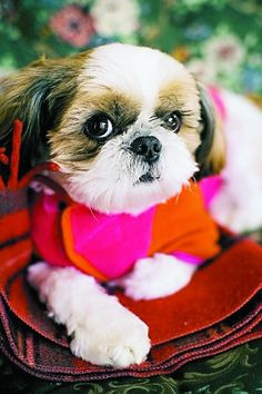Shih Tzu--This is what my baby girl is :] <333