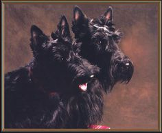 Modern Scottie Dog blog...meet Biscuit and Baci from Virginia