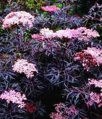 Black Lace Elderberry and other black plants for your Gothic Garden.