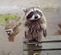 These Adorable Raccoon Pictures Will Make Your Monday!