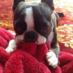 Boston Terriers are little suck monkeys, aren't they <3 Pateo ♥