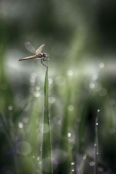 Dragonflies alight upon the reeds.