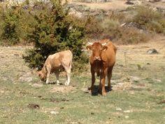 Vaca y cría /// Cow and calf