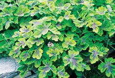 If you adore gardens filled with scent, keep an eye out for these seven herbal groundcovers. These herbs live up to their multitasking reputations; practical, beautiful, aromatic.