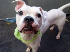 TO BE DESTROYED - 10/21/14 Manhattan Center -P  My name is MAX. My Animal ID # is A1017392. I am a male white and cream amer bulldog mix. The shelter thinks I am about 3 YEARS old.  I came in the shelter as a STRAY on 10/14/2014 from NY 10465, owner surrender reason stated was STRAY. https://www.facebook.com/Urgentdeathrowdogs/photos/a.611290788883804.1073741851.152876678058553/889722804373933/?type=3&theater