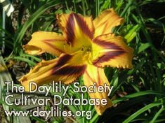 Daylily Spacecoast Tigertail Tango (Kinnebrew-J) Day Lilies, Tango, Lily, Board, Flowers, Plants, Beautiful, Growing Up, Orchids