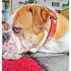 WEBSTA @ insomnia_maja - Dzien dobry 🌹🐾❤️#connex_star #happydogs #continentalbulldog #ilowemydog #almostweekend #lüdenscheid