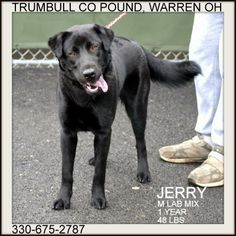 Jerry IN DOGS IN PRISON PROGRAM Black Labrador Retriever  Border Collie Mix • Young • Male • Medium Trumbull County Dog Kennel Warren, OH