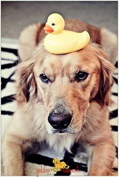 rubber duckie on dog ♡... Re-pin by StoneArtUSA.com ~ affordable custom pet memorials for everyone.