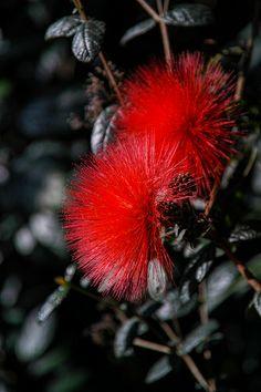 Powderpuff Tree . Calliandras . .Tropicals Flowers of a Tree.