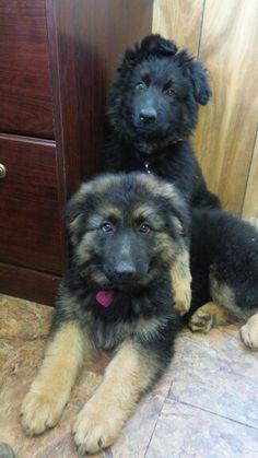 Heidi and Della, longhair German Shepherd Dogs, 10 weeks old. VHR Ranch, Paige, Tx.