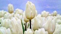 JOY IS A FLOWER THAT BLOOMS WHEN HOU DO . . ...... ...... . #holland #tulips  #nederland #landscape #Rutten#nature #foto #TULIP #ig_holland #WHITE #photo #wonderful #primavera #Beautiful #spring #Streetphotographer #flowers #leeuwarden  #naturelover #Holland_photolovers #fryslan #flower #photography #fotografie #friesland_art_life  #mooi #woderful_Holland #mooistefotovannederland #tulipanes #gardenlover http://tipsrazzi.com/ipost/1509367320810653006/?code=BTyWZTQgIVO