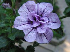 Petunia by fritzmb